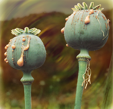 papaver somniferum opium - photo #35